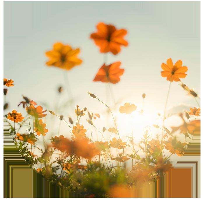 Orange flowers in a field in warm sunlight